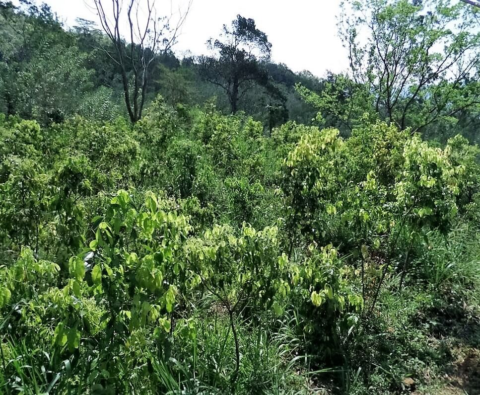 Health Benefits of Cinnamon Tea - Organic Ceylon Cinnamon growing in a small Sri Lankan farm in the high country.
