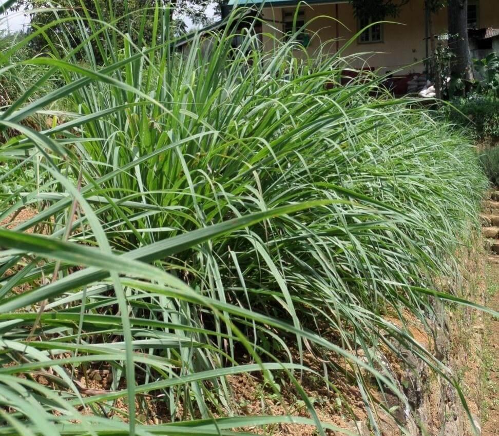 Benefits of Lemongrass Tea - Lemongrass Essential Oil Comes From the Lemongrass Plant