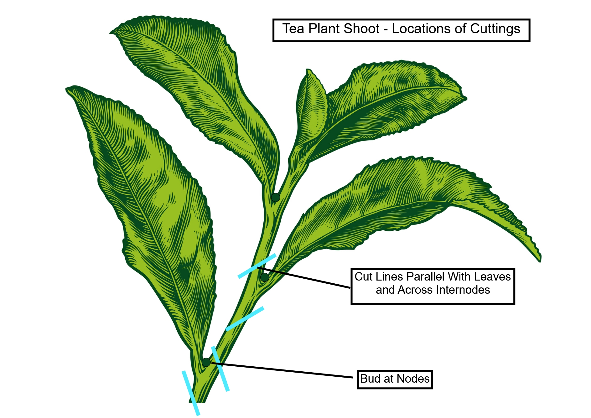 Farming Pure Ceylon Tea - Tea Diagram Shows Locations of Cuttings To Be Used For Cuttings