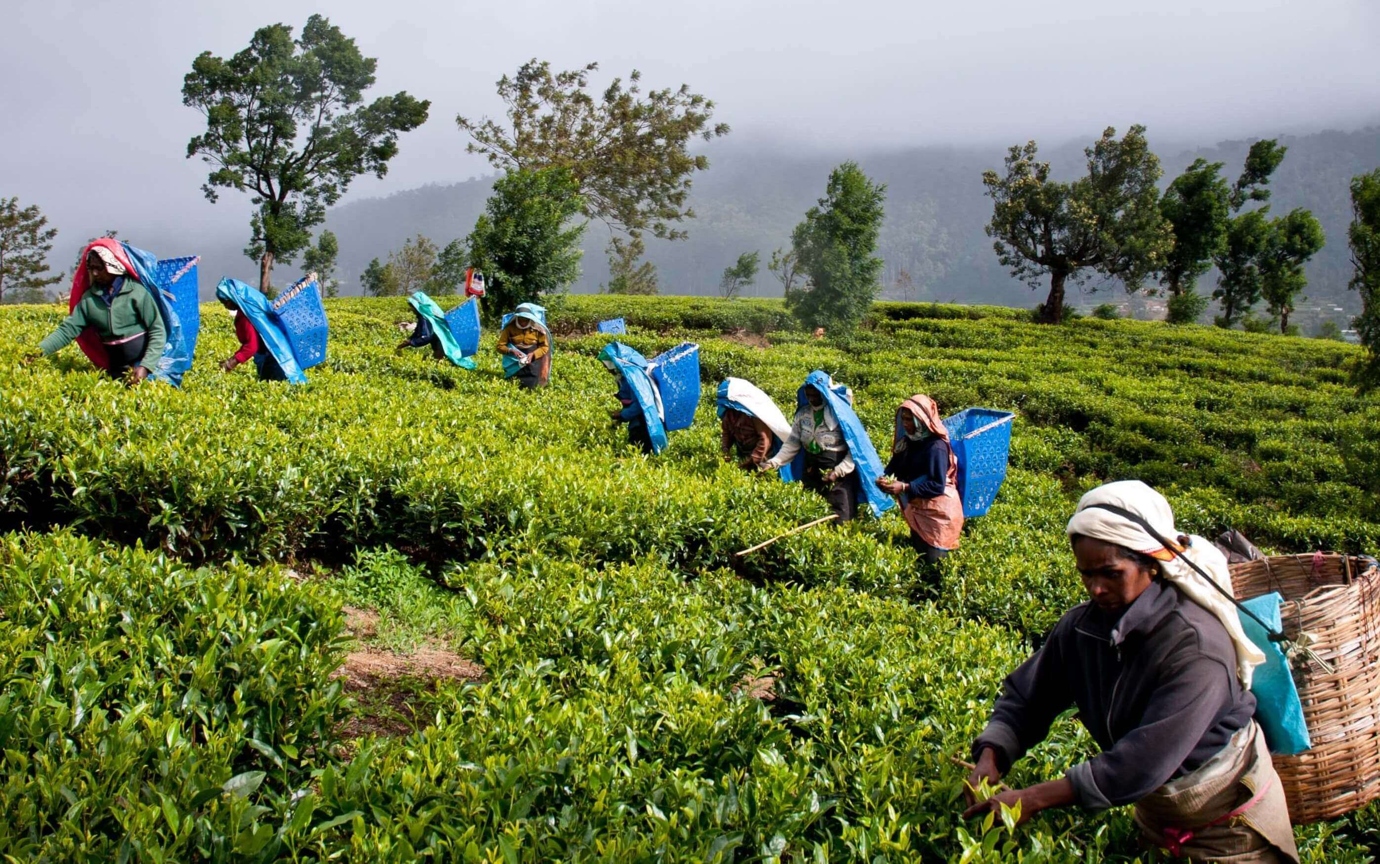Ceylon Organic Tea - Early Morning Harvesting