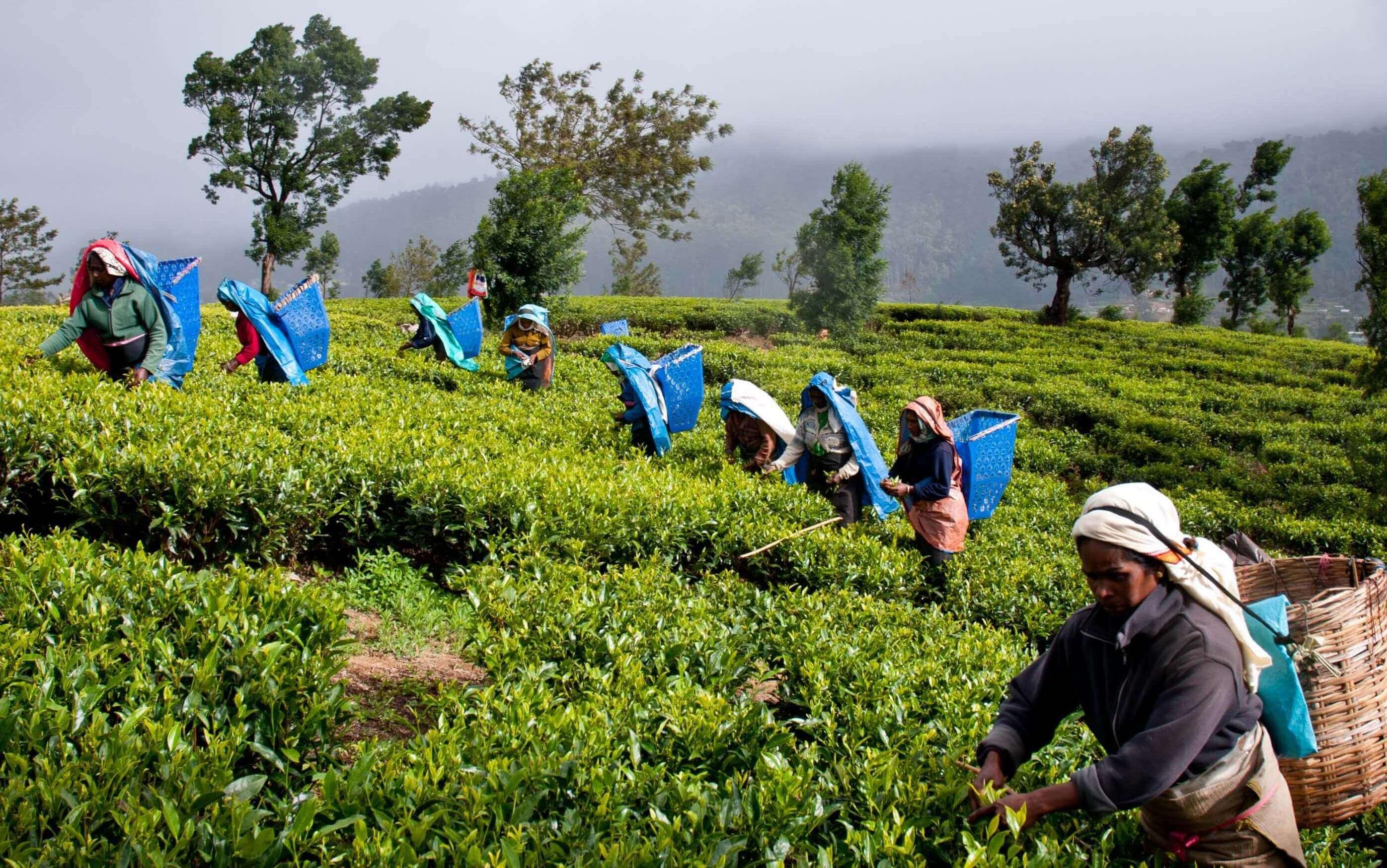 Выращивание зелёный чай 49