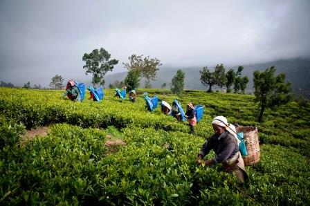 How The Tea Is Manufactured - Early Morning Harvest