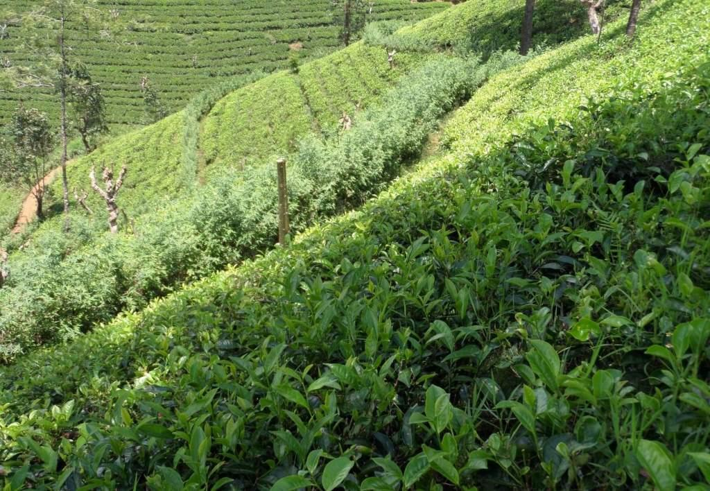Ceylon Teas USA - extremely steep slopes require experienced pluckers.