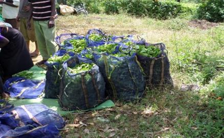 Black Tea vs Green Tea - It Starts With Freshly Plucked Camellia Sinensis - Assam Variety