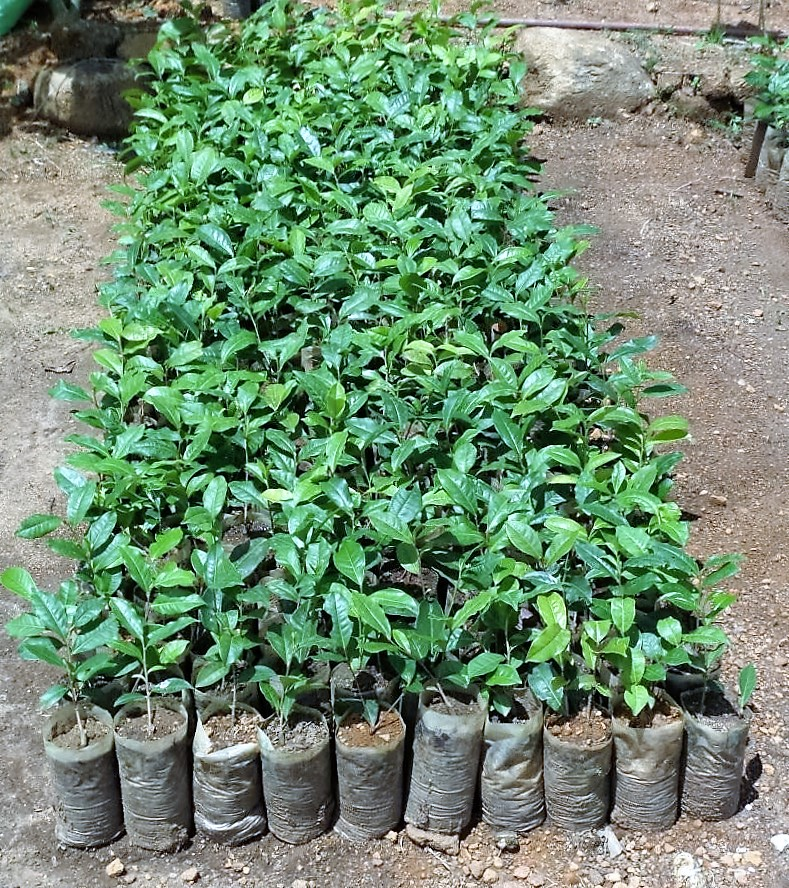 Ceylon Organic Tea - Cuttings Ready to Be Replanted
