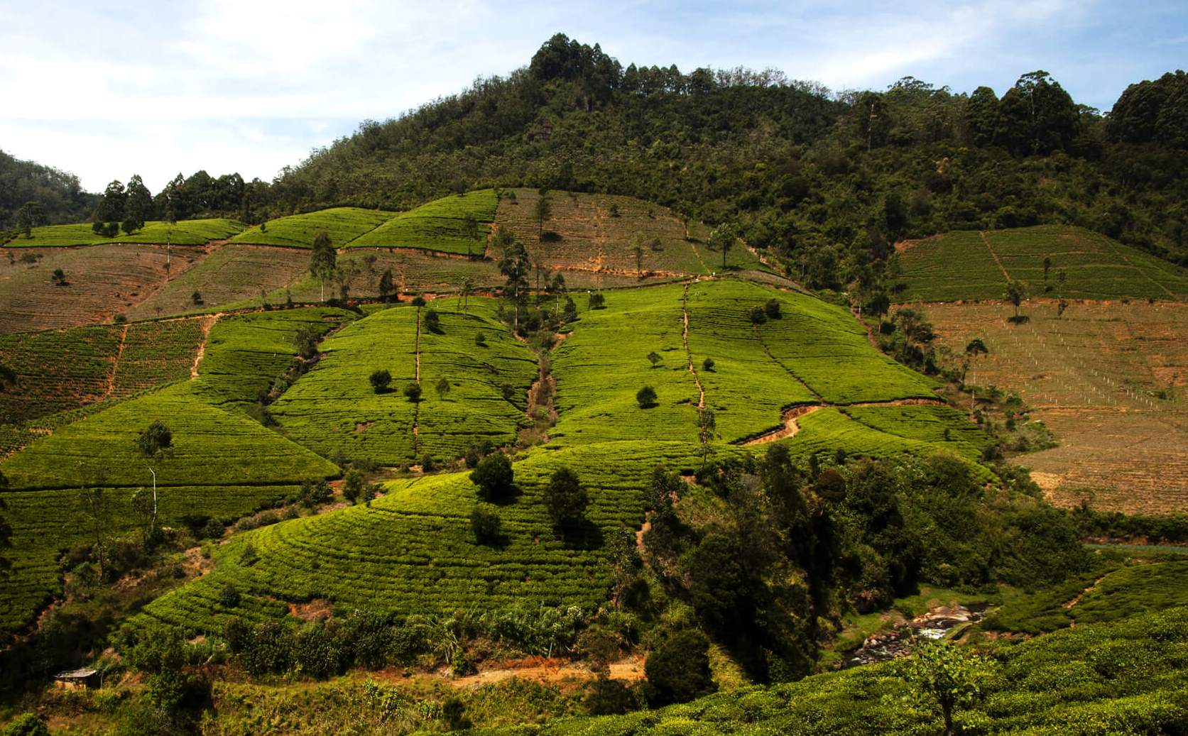Farming Pure Ceylon Tea - Picture Shows a Conventional Tea Plantation in the Central Highlands
