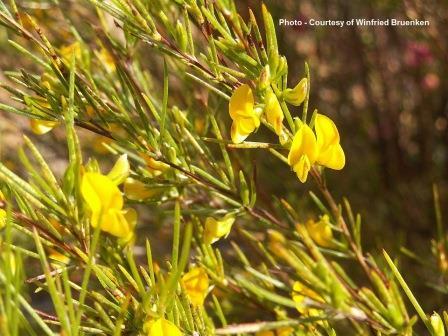 Rooibos Tea Health Benefits - Flowering Plant